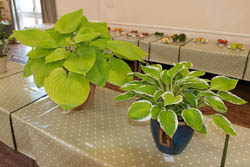 horticultural-show-hostas