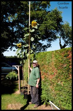 horticultural-show-tallest-sunflower