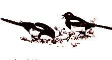 three-windmills-walk-magpies