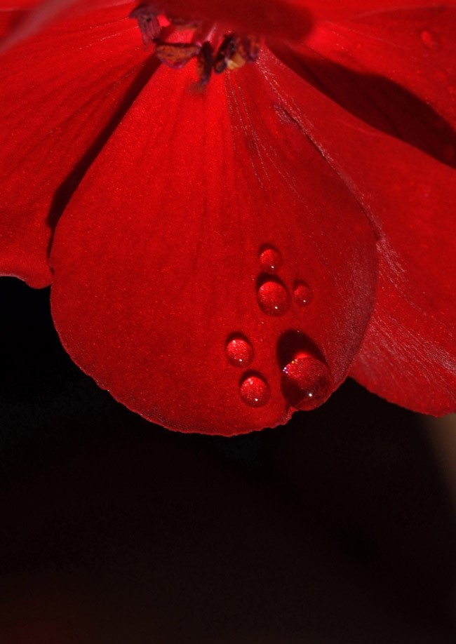 Macro close up of a red flower showing one petal as focus of image against part of each of two petals behind, the foreground petal having six small drops of water or dew of varying sizes at the lower edge