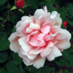 Image of old fashioned pink rose against glossy green foliage