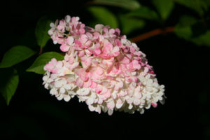 photograph of white flower head, flushed pink, of Hydrangea paniculata 'vanille fraise'