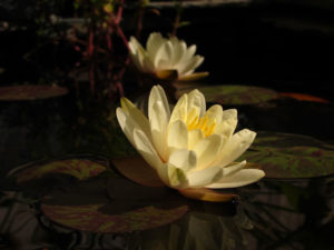 image of yellow water lily and reflection