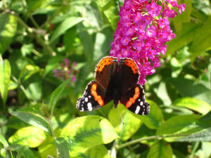 buddleia-buzz-and-red-admiral