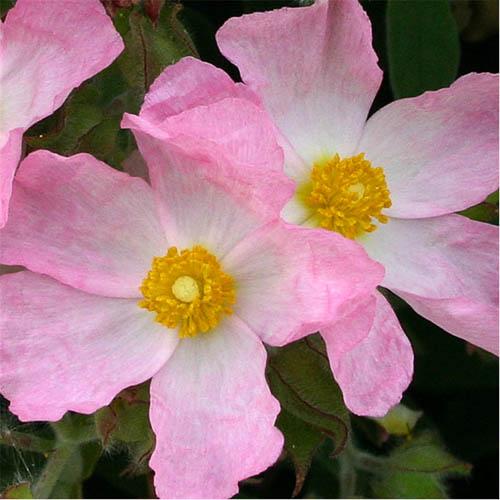 cistus-grayswood-pink