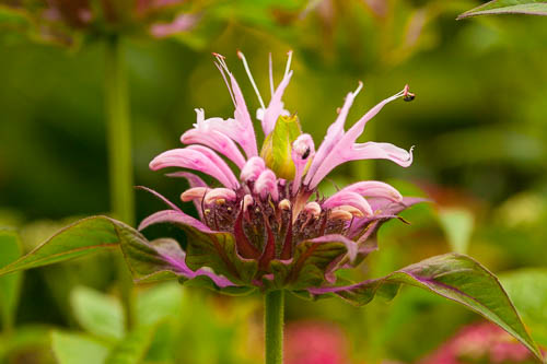 monarda-didyma-beauty-of-cobham