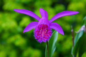 native-british-orchid