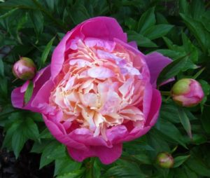 paeony bowl of beauty
