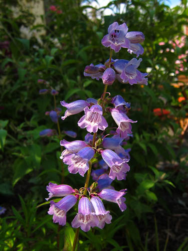 penstemon-sour-grapes