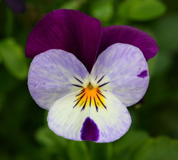 close up photograph of viola flower