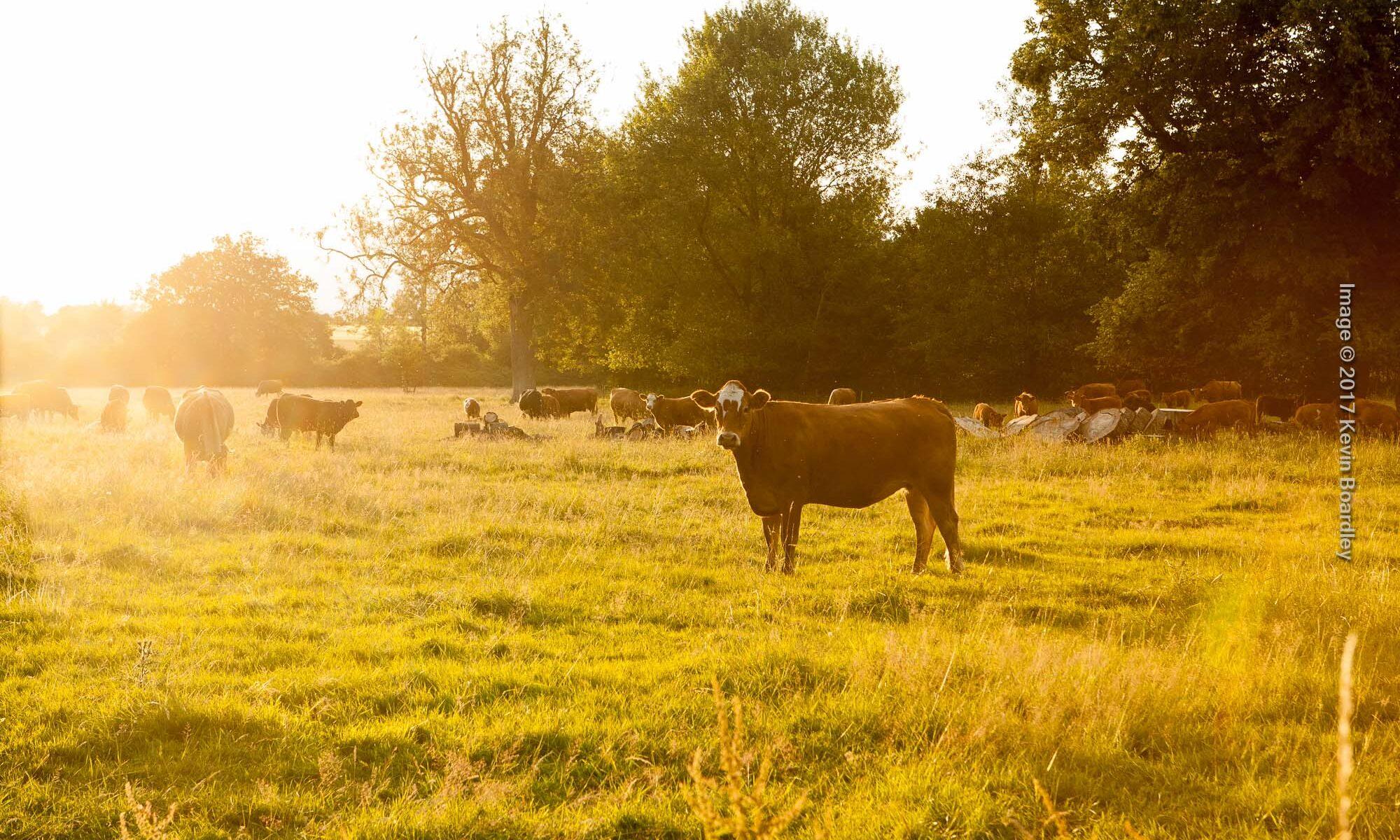 Cow against a hazy summer evening sky