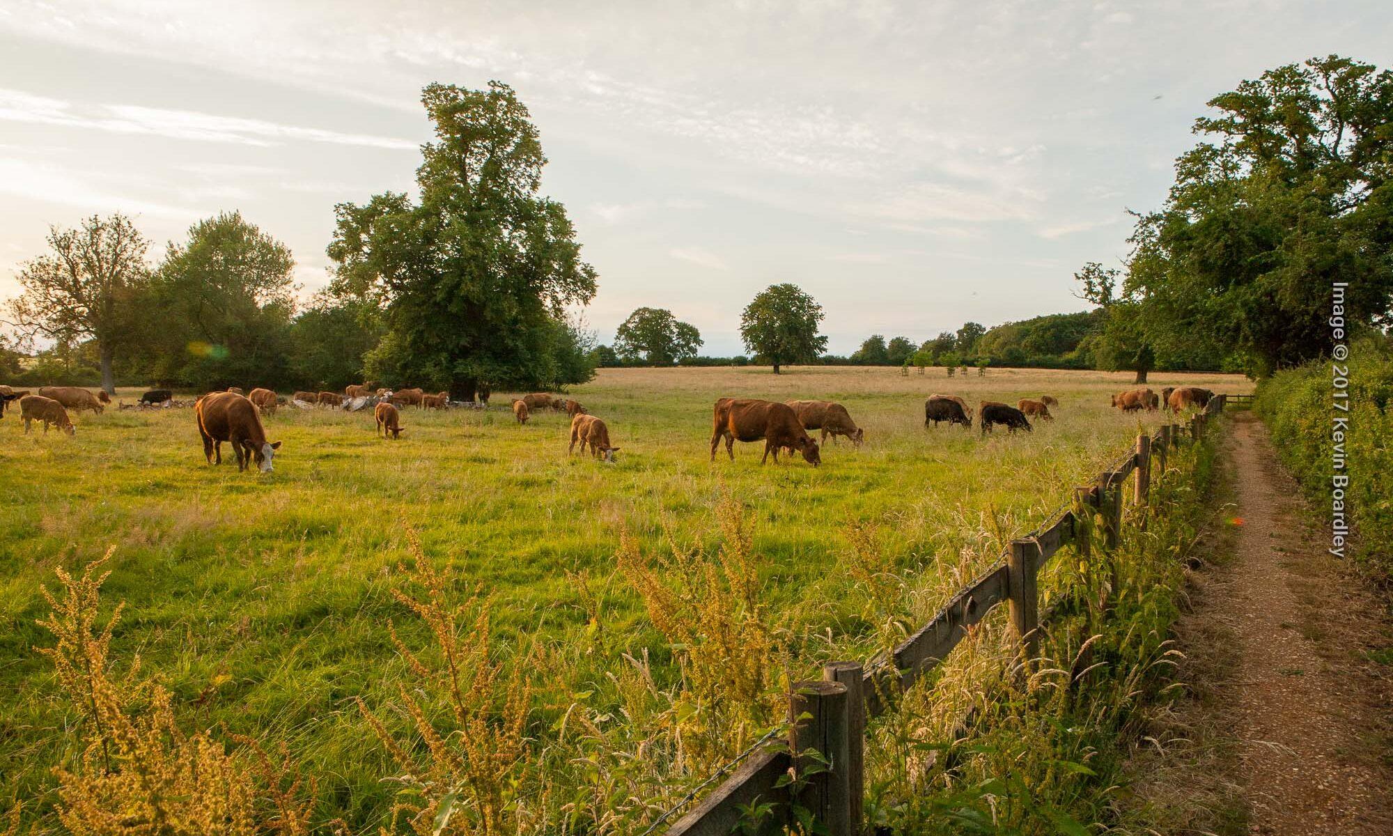 Cattle grazing on a summer evening