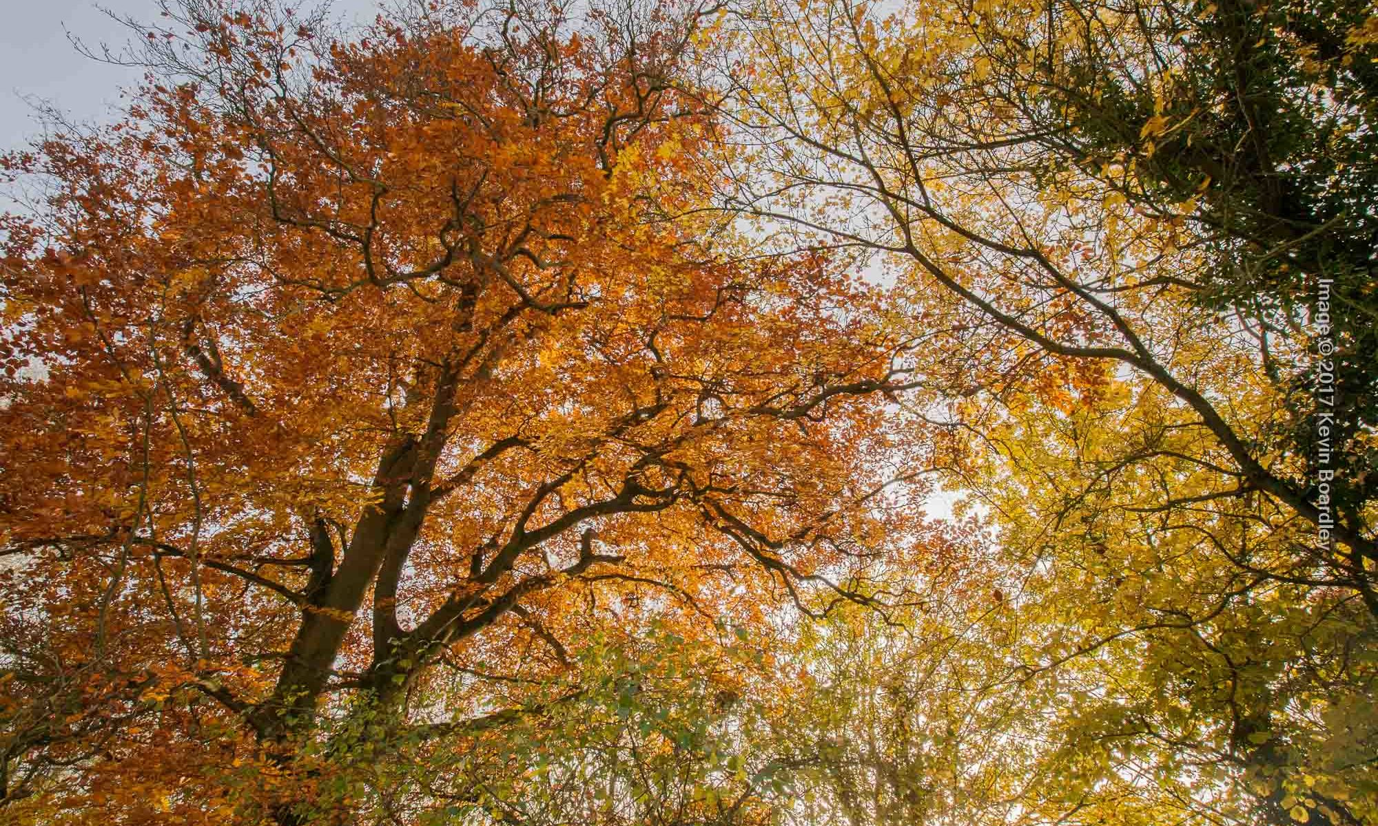 Looking up into the autumn trees, Walsham le Willows