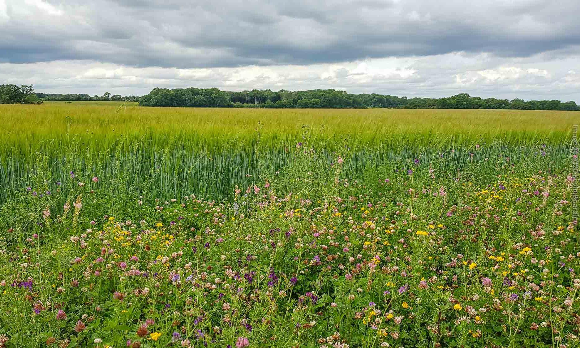 Arable wildflower margin alongside wheat field